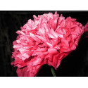 'Electric Pink' Paeony