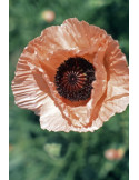 """Coral Reef"" - 'Oriental Poppy Seeds'"