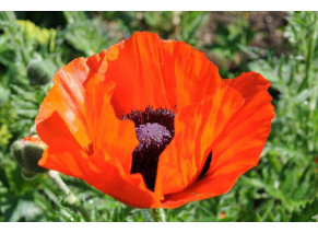 """Prince of Orange"" - 'Papaver Orientale'"