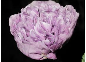 Lavender Paeony