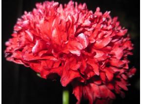 Scarlet Paeony